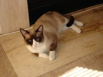 Snowshoe Cat- a cross with a Siamese and an American Shorthair