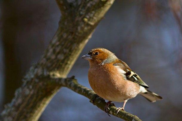 Laulaako peippo etelässä? | Suomen Luonto