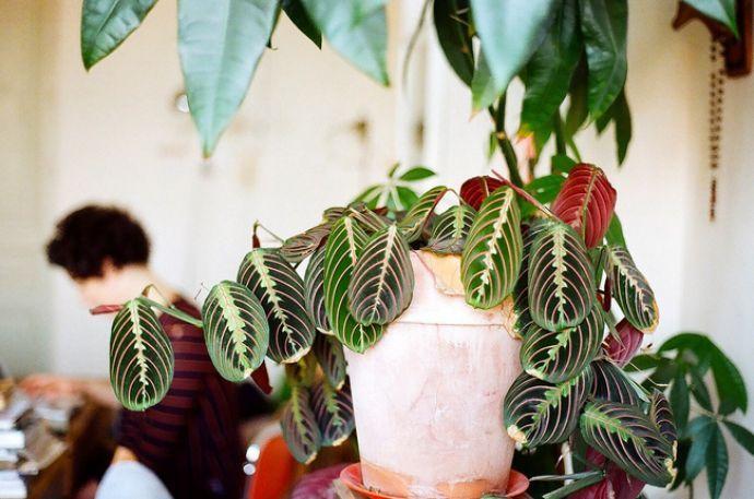 В помещении для выращивания декоративного растения, маранте следует обеспечить комфортные показатели температуры и влажности воздуха