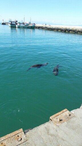 Seals at Kalk Bay harbour
