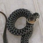 The snake is the biggest problem in Apopka areas that is anywhere generated in the surrounding area. How to get ride to remove a snake problem in the Apopka area our team is properly trained and told you about snake problem. Maximum snake is venomous that is very harmful ourself. Get Now: http://www.critterandpestdefense.com/services/snake-removal/