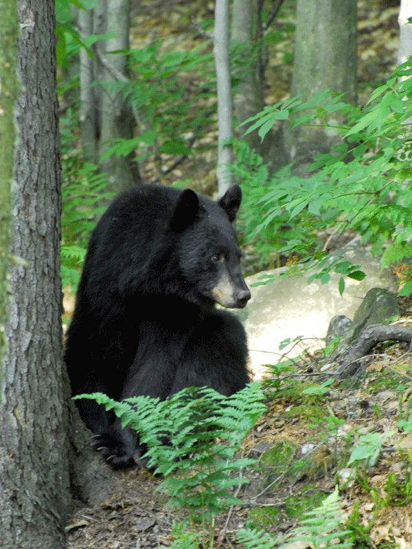 Camels Hump State Forest contains important black bear habitat