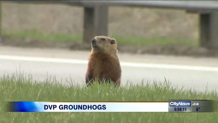 Videographer Audra Brown found out that two groundhogs living next to the Don Valley Parkway are something of a famous duo.