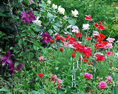 Elegantní hra barev: Bílé a růžové růže doplňují červené máky a fialový clemantis.