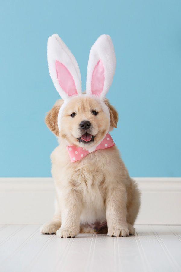 March 19 2015 Easter Puppy Golden Retriever Puppy Bing 2015