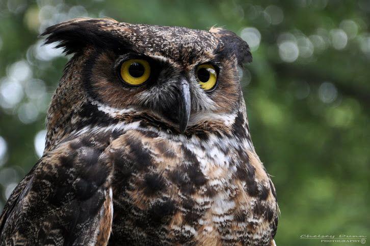 Большая рогатая сова - Great Horned Owl