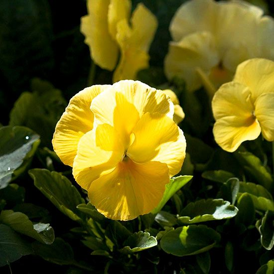 1000 Images About Viola On Pinterest Gardens Delft And