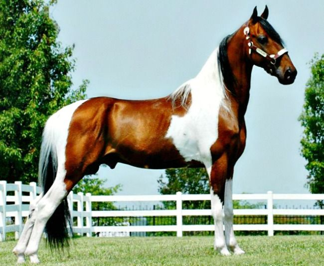 94 About The Spotted Saddle Horse Spotted Saddle Horse Wikipedia