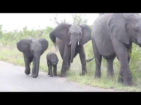 Baby Elephant struggling with this long thing on his face... Cuteness overload!! - YouTube