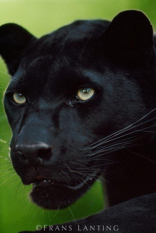 Black leopard, Panthera pardus, © Frans Lanting