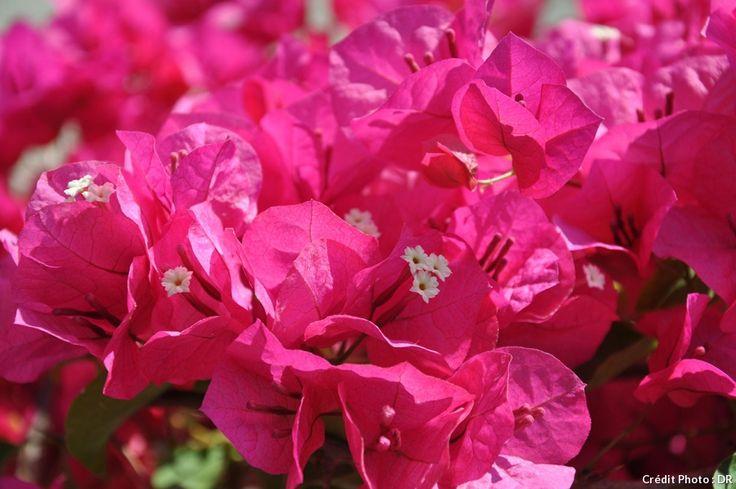 Comment choisir et entretenir un bougainvillier en pot ou en pleine terre et profiter de cette plante méditerranéenne à la floraison estivale abondante. #arbuste #rose #bougainvillier