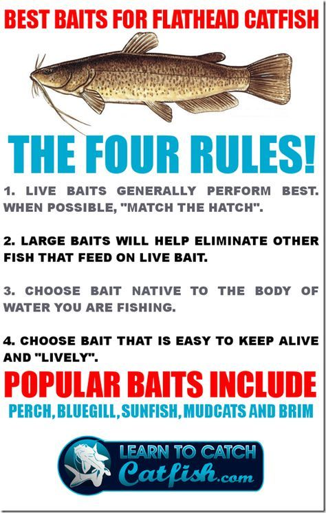 best bait for catfish | ... on flathead catfish here at learn to catch catfish because most of the
