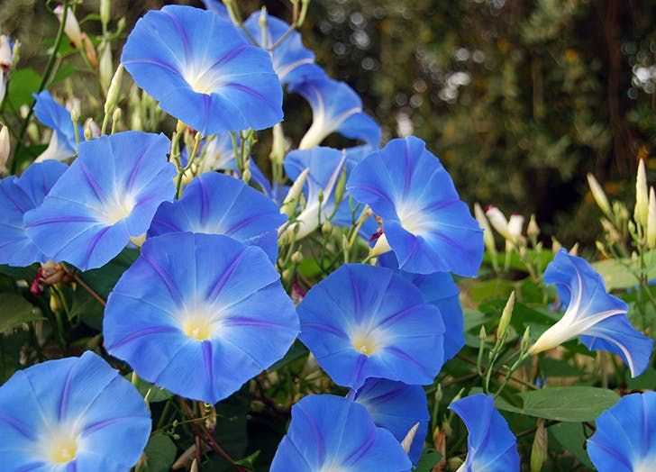 Birth Flower Meanings For Every Month Purewow Morning Glory Seeds Morning Glory Flowers Blue Morning Glory