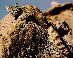 The Andean mountain cat (Leopardus jacobita) is considered as the rarest feline species in America. It has been classified as Endangered by IUCN because less than 2,500 individuals are thought to exist in the wild.