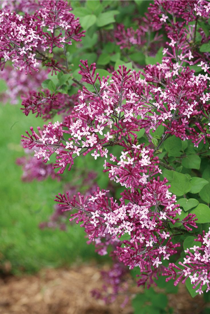 Bloomerang Dark Purple Reblooming Lilac Syringa X With Images Lilac Tree Flower Garden Plants