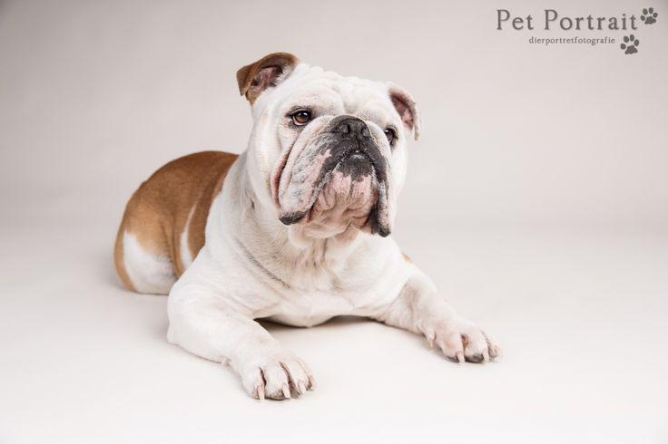Hondenfotografie Hillegom - Fotoshoot Engelse Bulldog en Cocker Spaniel pup-7