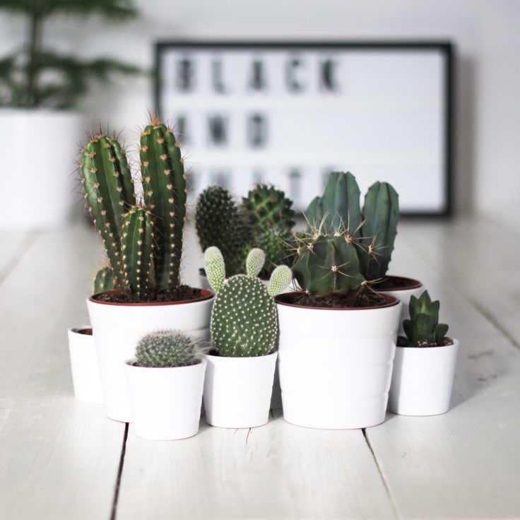 .white pots and cacti