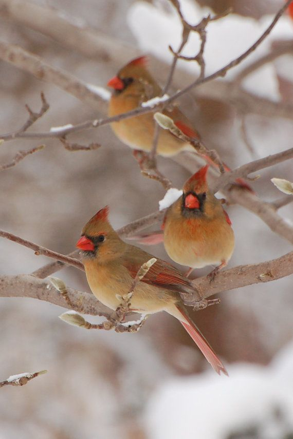 Bird Photo Winter Snow Cardinals Fine Art Color by Feathers And Flora  The northern cardinal is a mid-sized songbird with a body length of 21 cm (8.3 in). It has a distinctive crest on the head and a mask on the face which is black in the male and gray in the female. The male is a vibrant red, while the female is a dull reddish olive.