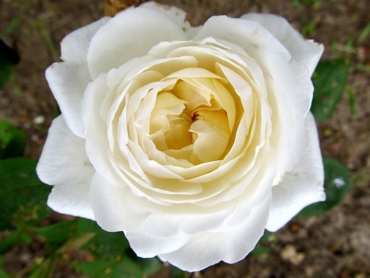 White Mary Rose - David Austin rose