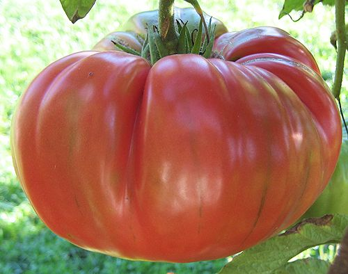 98 Best Heirloom Tomato Seeds For All Images On Pinterest 400 x 300
