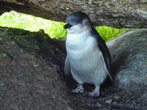 Little Penguins in Tasmania.  Article by Michelle Kneipp Pegler and photo by Dan Fellow.