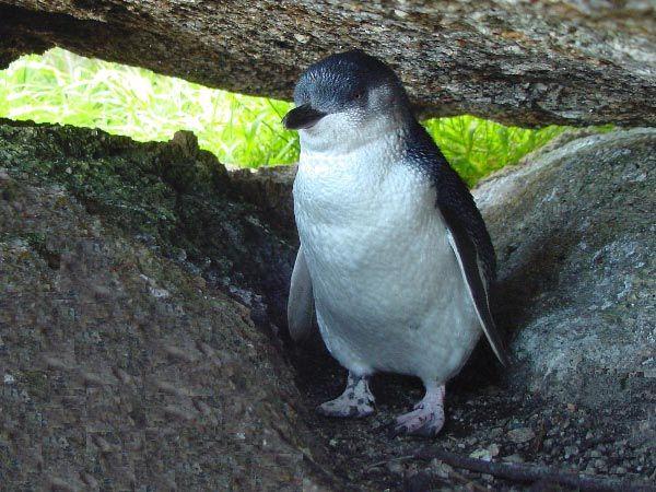 Day 1:  [evening] Little Penguins (Fairy Penguins) at Lillico Beach, (north coast near Devonport), Tasmania, Australia