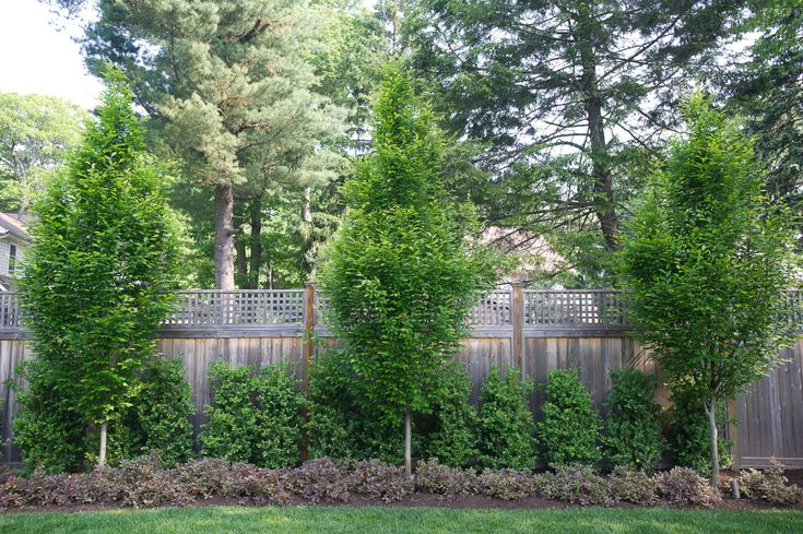 Fence planting: fastigiate hornbeams (Carpinis betulus 'Fastigata), a diminutive weigela–Weigla florida 'Midnight Wine' for color and spring bloom, and upright, narrow boxwood Buxus sempervirens 'Monrue' (Green Tower boxwood).
