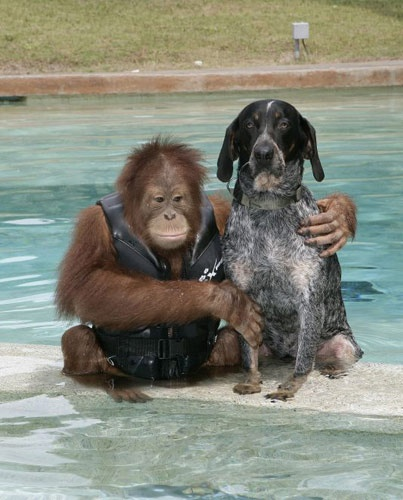 Orangutan and dog friend swimming buddies!
