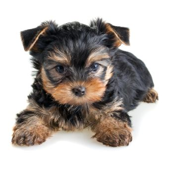 The dogs are very nice . Are characterized by animals the fidelity to its owners . I like small dogs feather hair soft and big eyes .