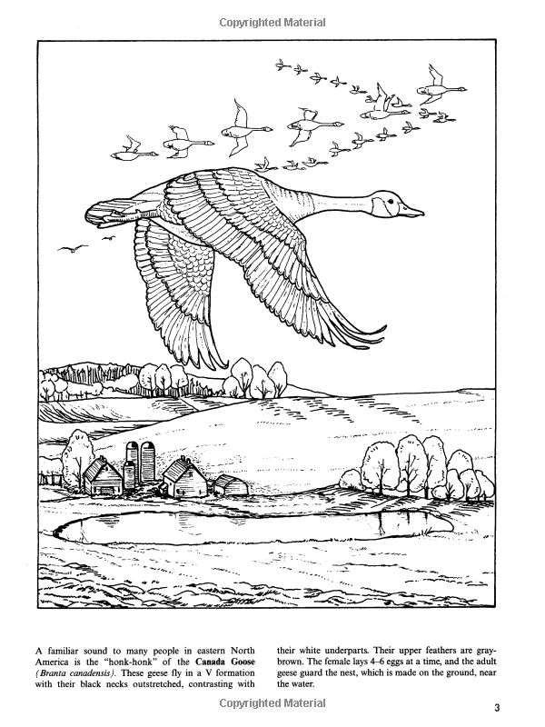 Flying Canadian Goose Coloring Page