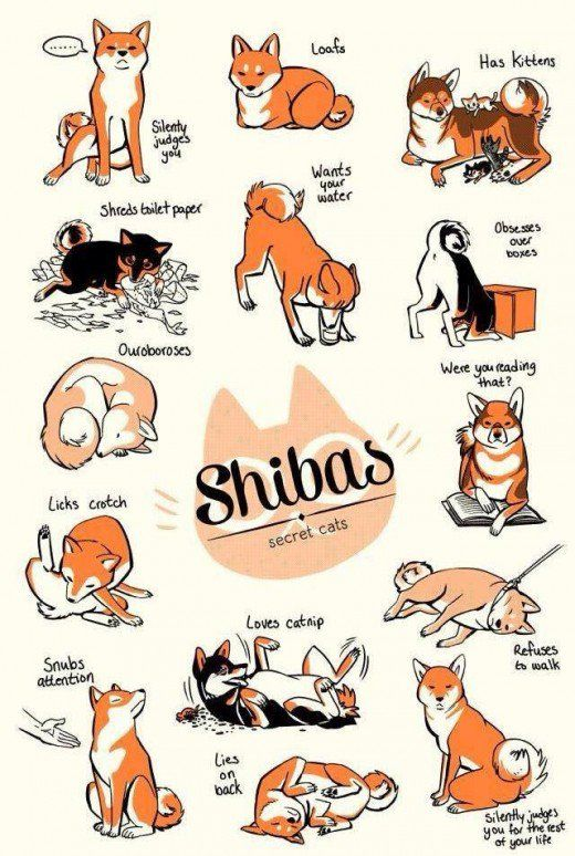 A guide to deciding whether or not the increasingly popular Shiba Inu breed is right for you.