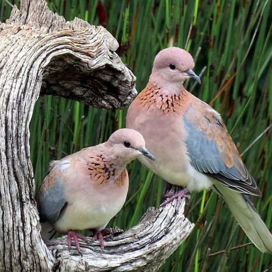 The laughing dove (Spilopelia senegalensis) is a small pigeon that is a resident breeder in Sub-Saharan Africa, the Middle East east to the Indian Subcontinent.