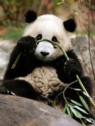 Tai Shan as a cubbie, Smithsonian Zoo, Washington DC. <3