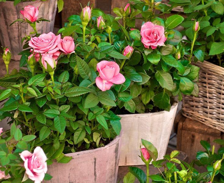 Trandafirii pitici. Cum ii ingrijesti - Casa și Grădina