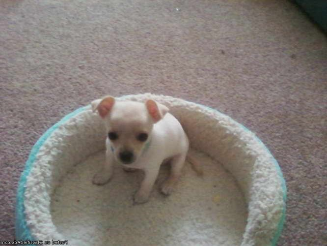 Chihuahua Puppies For Sale In El Paso Tx Chihuahua Puppies Puppies For Sale Chihuahua Puppies For Sale
