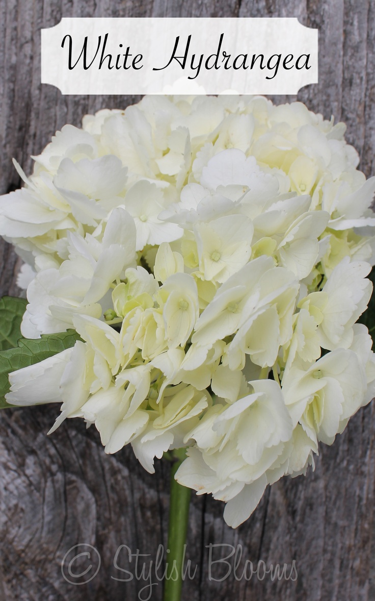 White Hydrangea - Hydrangea - symbolizes heartfelt emotions. It can be used to express gratitude for being understood.