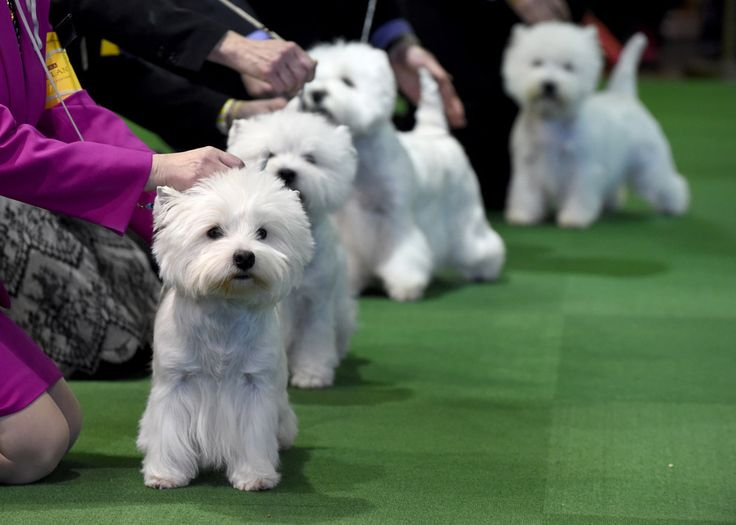 The Westminster Dog Show Has Blessed Us With Another Cute Explosion