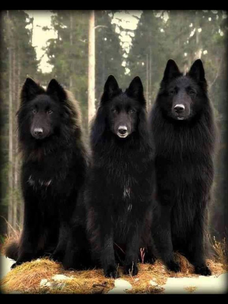 Wolves or dogs, beautiful either way.