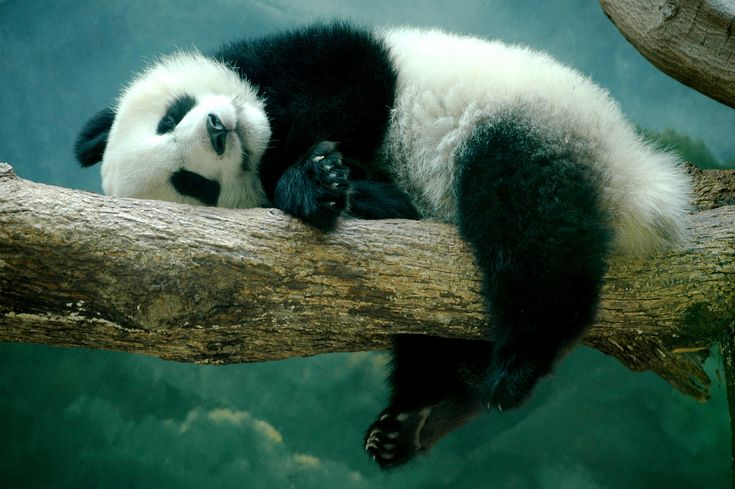 Cute Panda Image HD Tumblr.