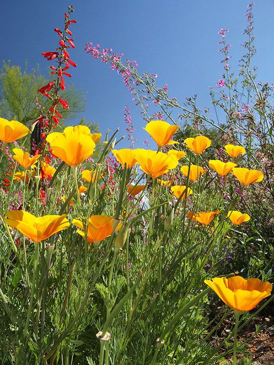 Look for Low-Care Wildflowers