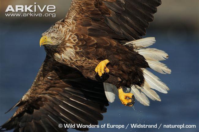 White-tailed Eagle *
