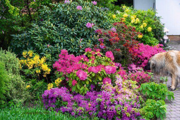 WIOSNĄ DOM OTULAJĄ KOLORY - to kwitną różaneczniki: rododendrony, azalie wielkokwiatowe i azalie japońskie.