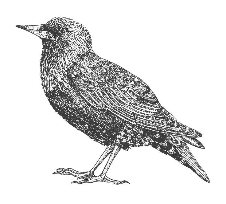 starling bird illustration