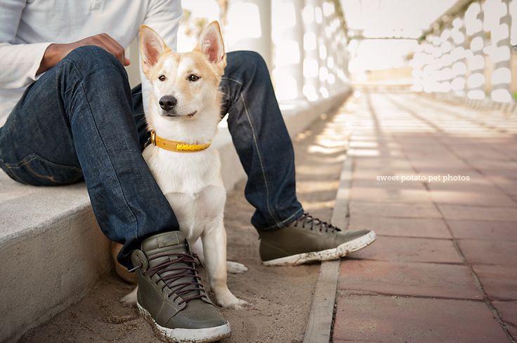A dachshund husky mix puppy dog named Foxy in Santa Monica ...