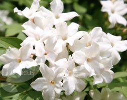 Jasminum officinale  common white jasmine