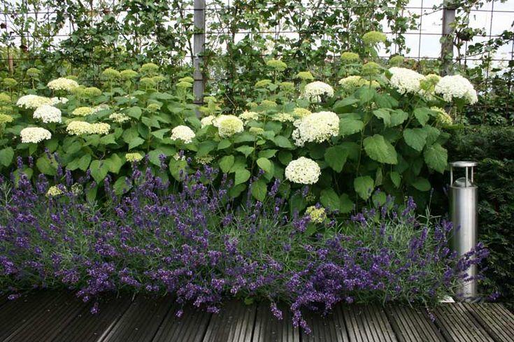 Jaren30woningen.nl | Hortensia en Lavendel: Mooie combi voor in een tuin bij een #jaren30 woning:
