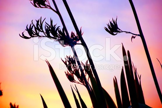 Harakeke (NZ Flax) Silhouette & Sunset royalty-free stock photo