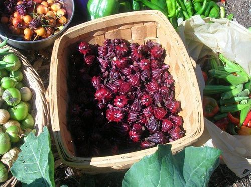 """How to Grow and Use Tea Hibiscus/Florida Cranberry    I get excited about foods I've never grown before and for a few years now I've tried my hand at growing Hibiscus sabdariffa, which you may be familiar with as the """"zinger"""" in Celestial Seasonings Red Zinger tea."""