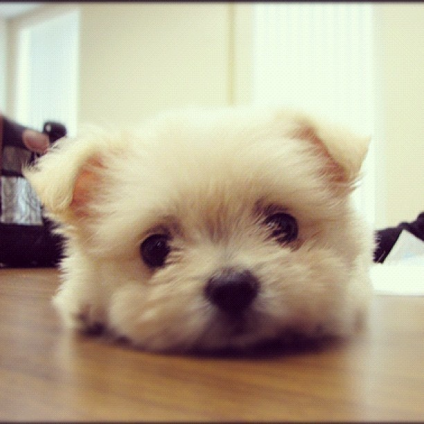 A bichon and a pom puppy? Oh my... the cute... it's just too much!!!