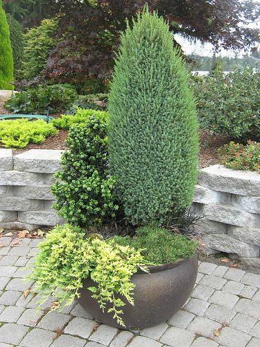 Dwarf Evergreens in Containers